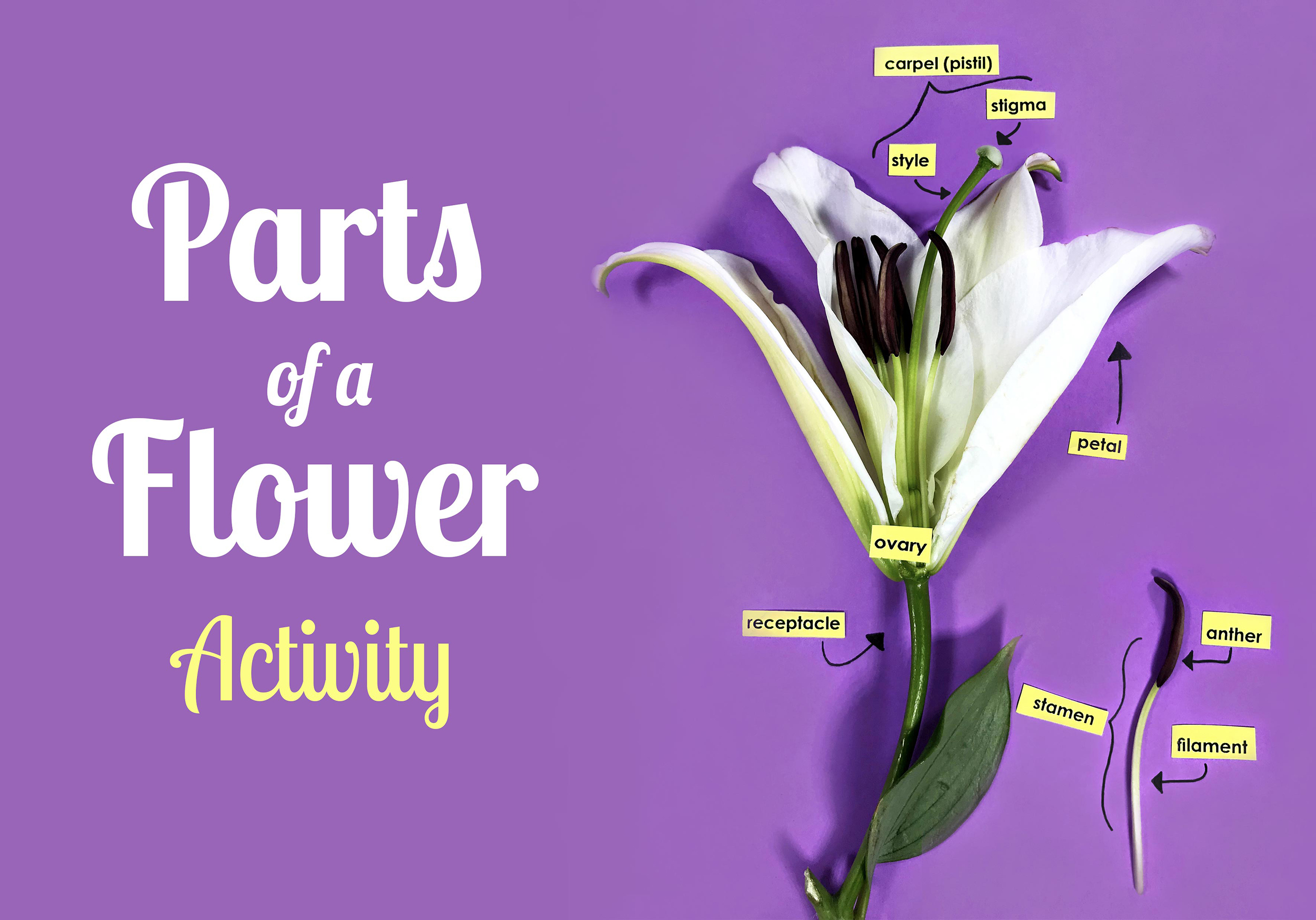 Parts of a Flower Guided Activity